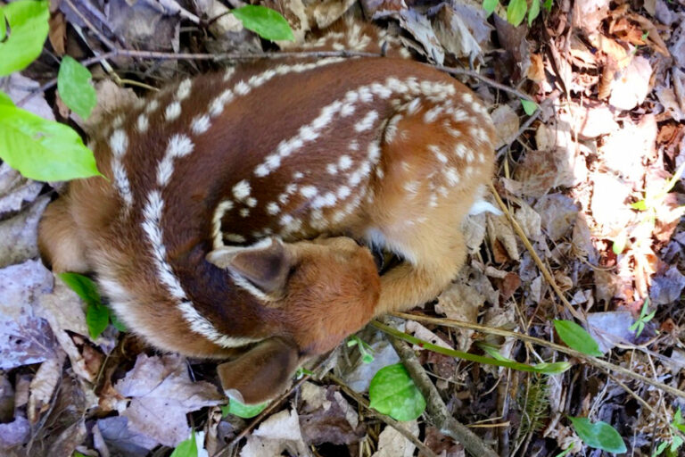 Predator densities and white‐tailed deer fawn survival