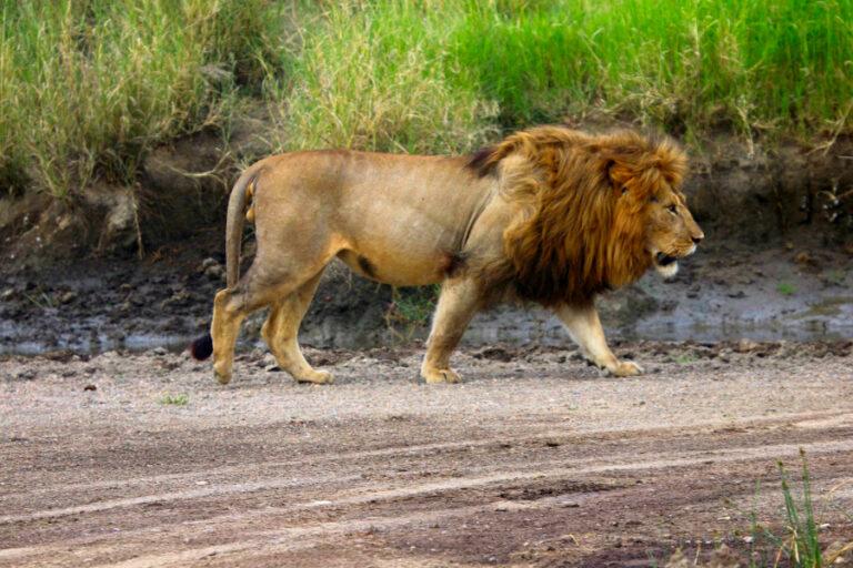 Track surveys do not provide accurate or precise lion density estimates in serengeti