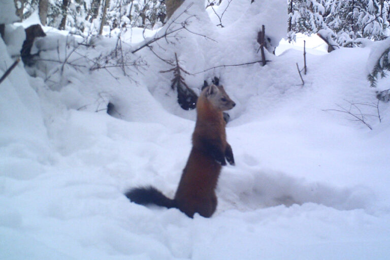 American marten and fisher do not segregate in space and time during winter in a mixed‐forest system
