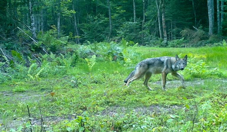 Non-linear relationships between human activities and wolf-livestock depredations