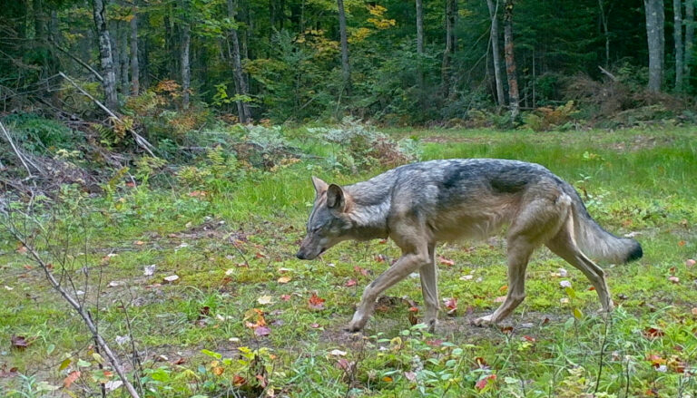Subsidies from anthropogenic resources alter diet, activity, and ranging behavior of an apex predator (Canis lupus)