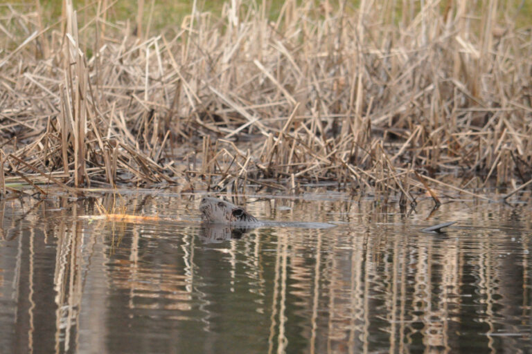 Performance of tail-mounted transmitters on American beavers Castor canadensis in a northern climate