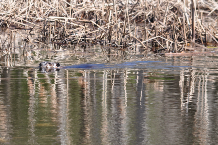 Do transmitters affect survival and body condition of American beavers (Castor canadensis)?