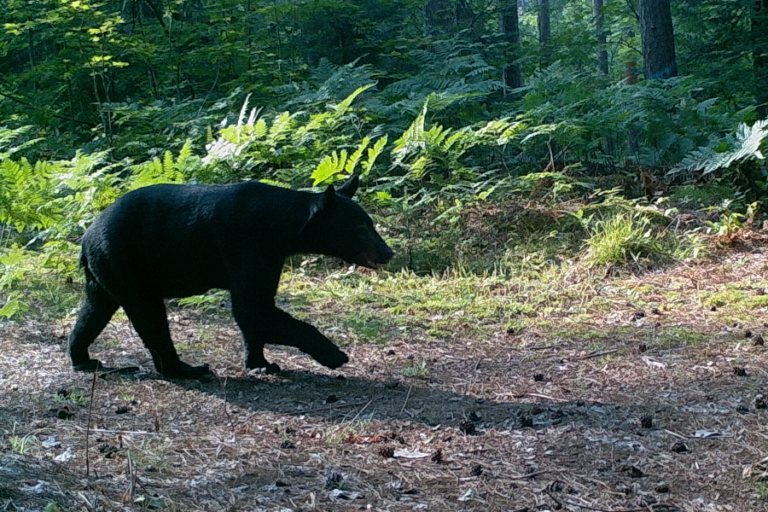 Sex, diet, and the social environment: factors influencing hair cortisol concentration in free-ranging black bears (Ursus americanus)