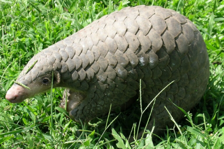 Knowledge of the critically endangered Chinese pangolin (Manis pentadactyla) by local people in Sindhupalchok, Nepal
