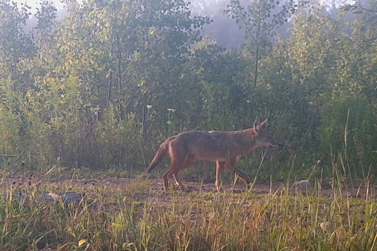 Interference competition between wolves and coyotes during variable prey abundance