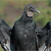 november-open-salon_black-vulture-7_ron-denk_honorable-mention_20161128