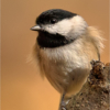 February Open A_Blackcapped Chickadee_Christine Cuthbertson_Top Award_20170227