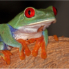 March Assigned SalonMacro and Closeup_Red Eye Tree frog_Ben Venezio_Honorable Mention_20170327