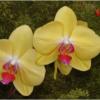April Open Salon_Yellow Orchids_Ben Venezio_Honorable Mention_20170424