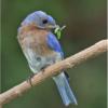 Blue Bird with Catch_Ben Venezio_Open Salon_Honorable Mention