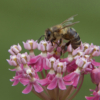 Honey Bee_Anne Allen_Open B_Equal Merit