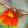 Swallowtail on Flower_Ellen Stein_Open A_Equal Merit