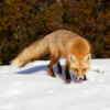 The Sly Fox_Nick Palmieri_Open Salon_Honorable Mention
