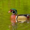 Echo Lake Wood Duck_Joe Moran_Open A_Honorable Mention