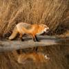 Fox Reflection_Nick Palmieri_Open Salon_Honorable Mention
