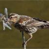 RedWinged Blackbird_Joe Moran_Open A_Honorable Mention