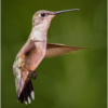 Rubythroated Hummingbird_Ellen Stein_Open A_Equal Merit