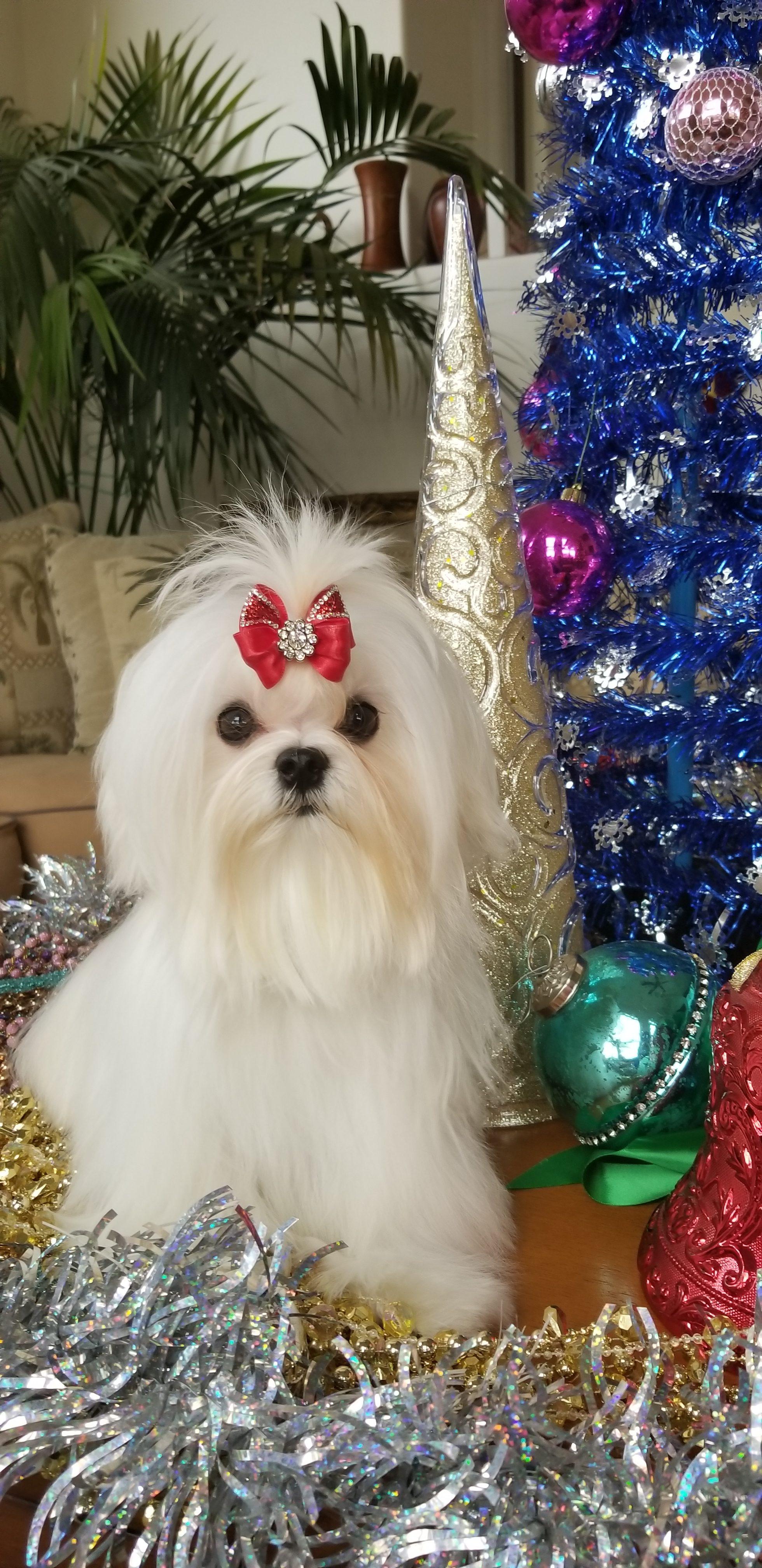 Maltese puppy- Male!