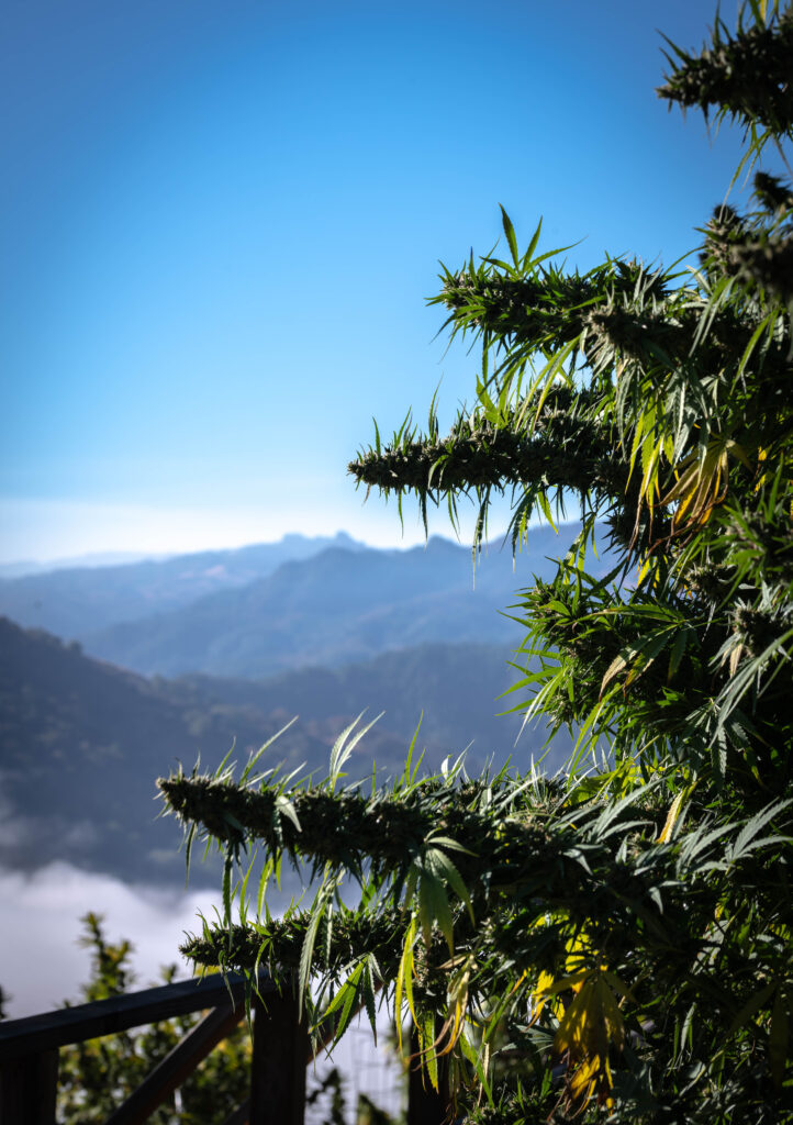 mountains and cannabis