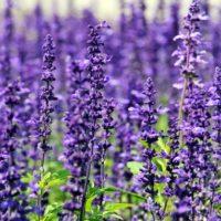 lavender flowers purple flowers blue flowers 128883