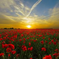 sunset field poppy sun priroda