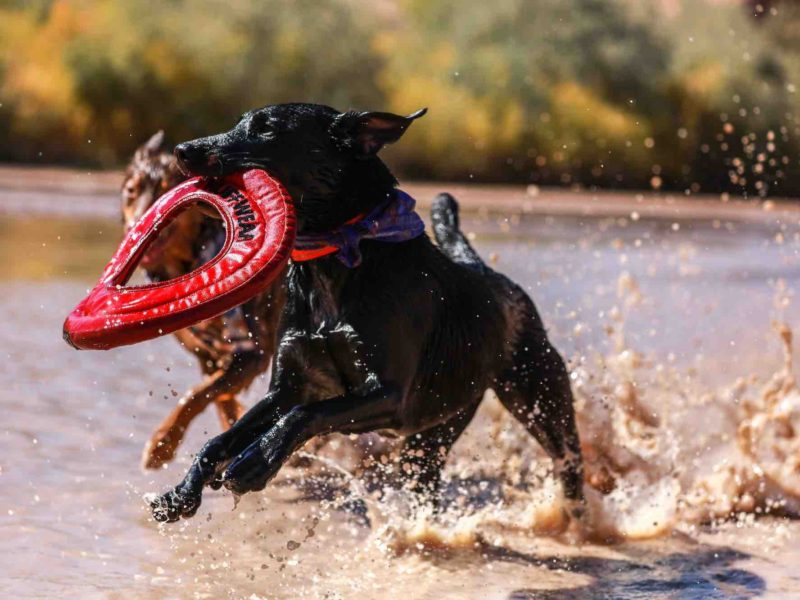 Dogs playing in the water with a toy