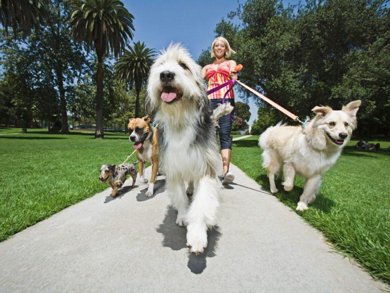 Lady walking dogs