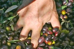 olive pluck