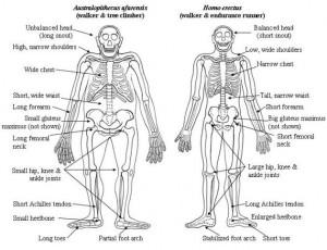 Australopithecus-Erectus