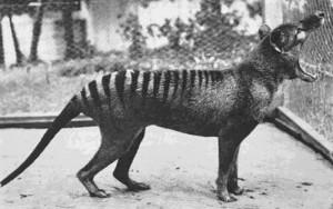 Tasmanian Tiger 1933