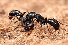 220px-Plectroctena_sp_ants