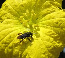 220px-Pollinating_bee_covered_with_pollen
