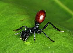 250px-InfectedCephalotesAtratus
