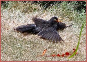 Black-bird-anting-2