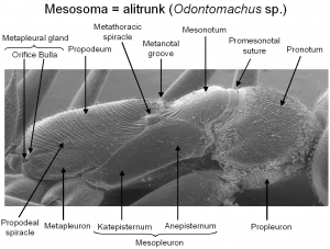 Fig036_Mesosoma