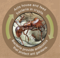 ant-bacteria