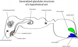 ant-glands