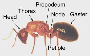 ant_anatomy_ant_copy