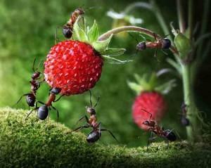 ants-strawberry_2160862k