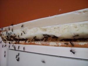 carpenter_ants_38_0_1