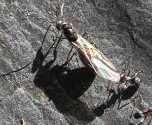 closeup-princess-ant