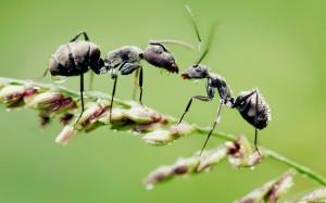 dew-ants