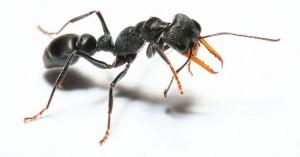 jack-jumper-ant