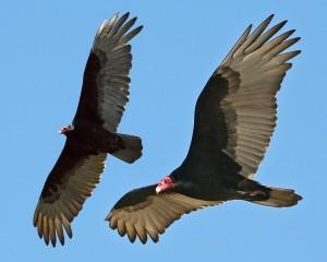 2turkey-vultures-6474-5496