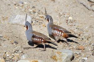 3031-mountain-quail