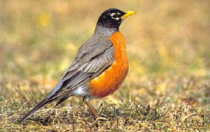 AMERICAN-ROBIN-Pictures