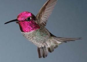 Anna's_Hummingbird