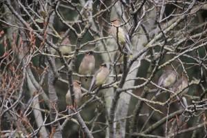 Cedar Waxwing group in tree fwsADCB2BD2-1551-43CC-860AC1B31A6CA090