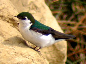 IMG_8878_violet_green_swallow